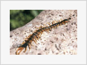Centipede is the Most Ancient Land Creature
