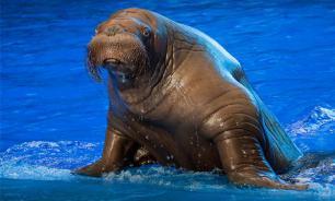 Animal trainer fights walrus at sea aquarium in Russia