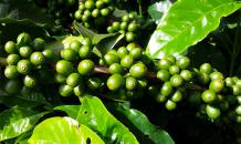 Climate change may destroy coffee plantations around the world