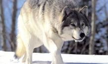 Hunters kill unusually big wolf in Rostov region