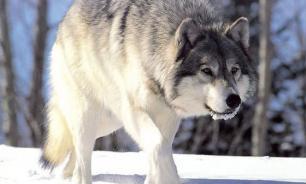 Hunters kill unusually big wolf in Rostov region