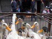 Mutant strain of bird flu