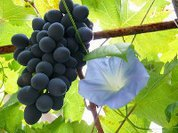 Wine quickly loses popularity among Russians