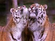Russia takes steps towards protecting tigers