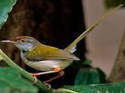 Cambodia: New bird species discovered in capital