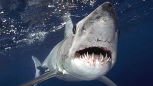 Terrifying jaws of Mako shark