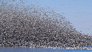 Clouds of migratory birds in the sky