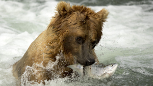 There are a few places in the world where one can see bears catching fish. Every year, thousands of mature adult fish go on a journey from the ocean to the upper reaches of their native rivers. This is a feast for bears living upstream. The predators spend hours in the water catching salmon