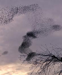 Unbelievable starlings