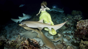 A young woman from Moscow, Irina Britanova, was posing underwater with Tawny nurse sharks during a night shoot in Indian Ocean, Maldives. The model was holding her breath for one minute to let the photographer near her take the pictures. The photographer had additional oxygen tanks for the model to breathe between photo shoots.
