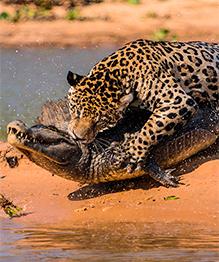 War of predators: Jaguar vs. Caiman