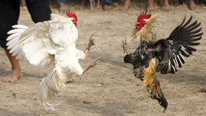 Brutal cock fights during harvest festival in India