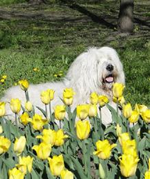 South Russian Sheepdog, National Gem