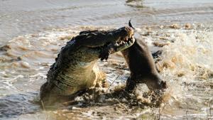 Crocodile eats hippo