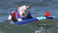 Surf City Surf Dog 2014 took place on Huntington Beach in late September. This is an annual sports competition, in which dogs, not people, perform as surfers. As many as 65 canines took part in the event, with 2,500 people watching. 