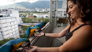 In Caracas, Venezuela,  unlike in other Caribbean climates, where macaws have disappeared, the large parrots are thriving thanks to the care and affection of a group of amateur birders who feed them and watch out for their nests. Many people take the macaws as pets  released  given them sunflower seeds and bananas when they come to the windows or terraces of their apartments