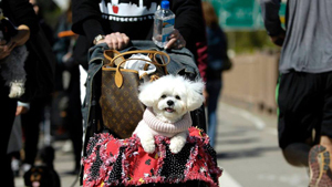 A wealthy woman from New York says that her lap dog, a Maltese is the daughter that the woman, a mother of two sons, has never had (All photos: Splash/All Over Press)