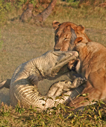 Lions kill croc for dinner