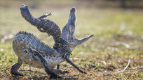 A lizard climbed on top of a croc, and the croc tried to shake the rider off. The fight between the 35cm croc and the 25cm lizard was captured by photographer Hendy MP in Sambas, West Kalimantan, Indonesia